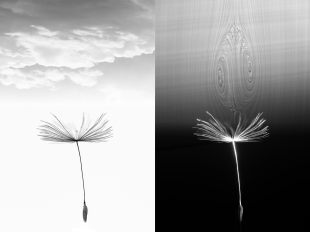The separated vortex ring of the dandelion